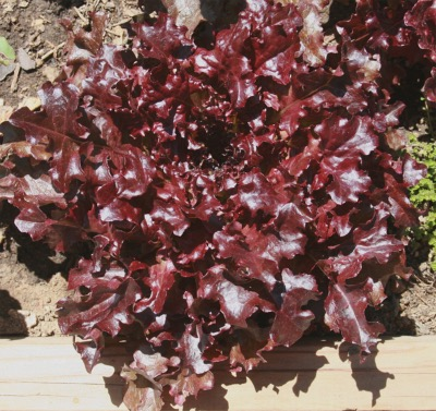 Lettuce Red Oak Leaf Salad Bowl Seeds