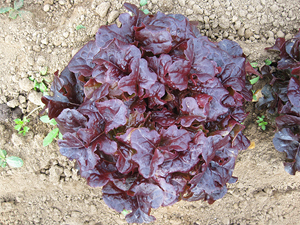 Lettuce Eluarde- Red Oak Leaf type