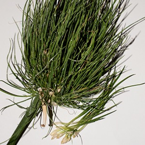 Pot Leek Grass - Cumbrian