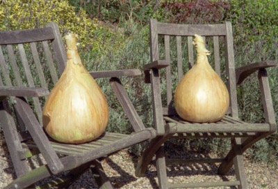 World Record Onion Strain - Ailsae 4 PKTS OFFER