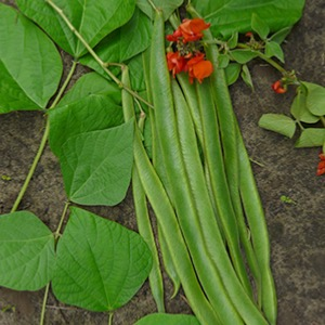 Runner Bean Greshan Seeds