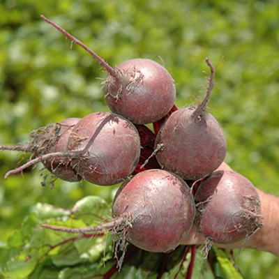 Beetroot Red Ace F.1 hybrid Seeds