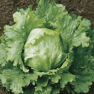 Lettuce Webbs Wonderful