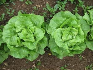Lettuce Butterhead or Flat types