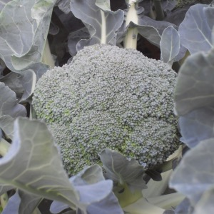 Calabrese or Summer Broccoli