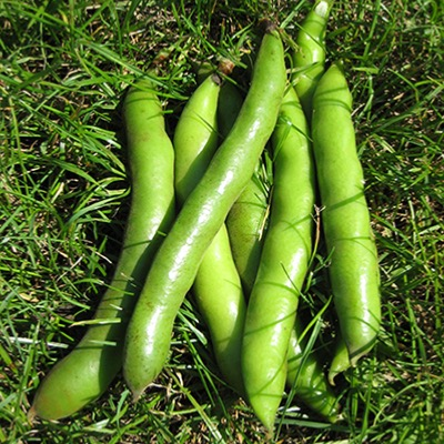 Broad Bean Giant Exhibition Seeds
