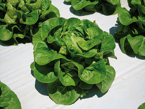 Lettuce Little Gem - Socca