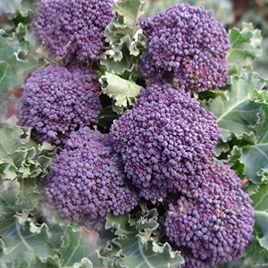 Winter Sprouting Broccoli Seeds