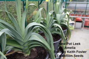 Pot Leek  Plants - Amelia new 2017 - 10 Plants