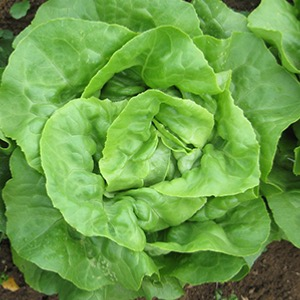 Lettuce Seeds Winter and Summer Types