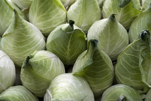 Cabbage Large Pointed - Filderkraut