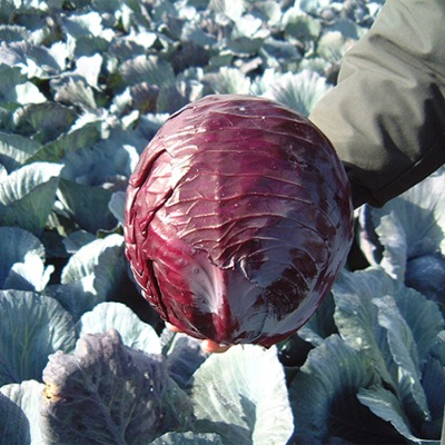 Cabbage Seeds Red - Buscaro F.1 Hybrid