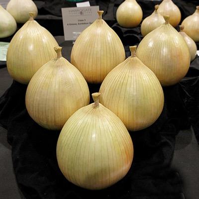Giant Kelsae Onion Seeds
