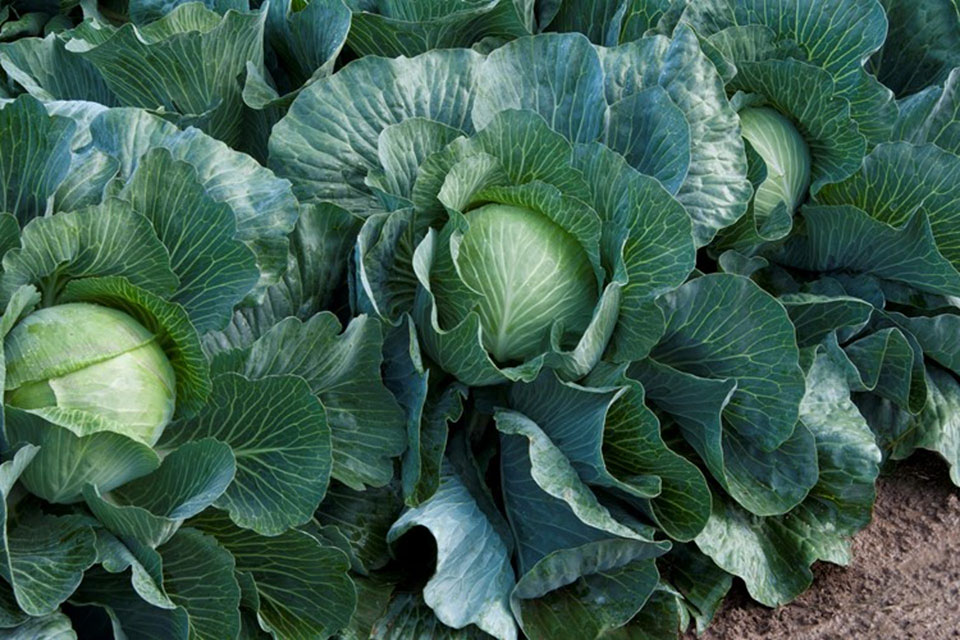 Cabbage Seeds Large Dutch White Pronca F.1 Hybrid