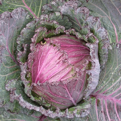 Cabbage Seeds Deadon F.1 Hybrid