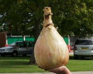 World Record Onion Seedlings 'Ailsae'