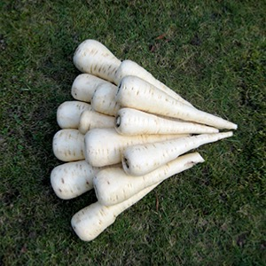 Top Size Parsnips Seeds