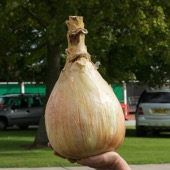 Onions Very Large - World Record Strain