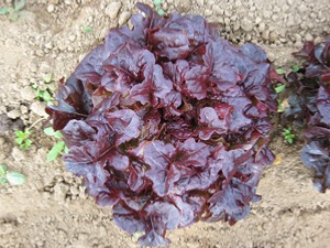 Lettuce Lollo Rossa Types