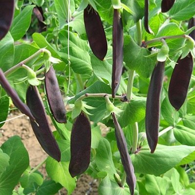 Mangetout Shiraz Seeds