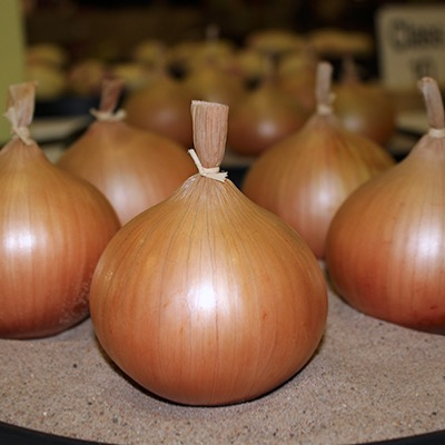 Overwinter Onion Toughball F1