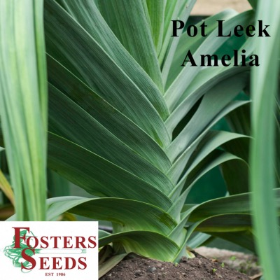 Pot Leek  Plants - Amelia - 12 Unrooted Pips