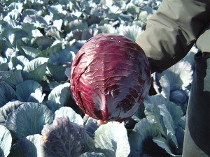 Red Cabbage Buscaro F.1 hybrid
