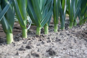 Leek Striker  F.1 Hybrid Seeds