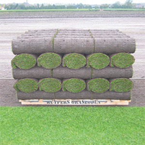 Grass Seeds For Turf Production