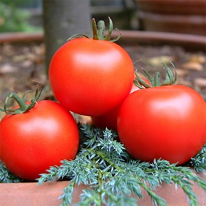 Tomato Seeds - Greenhouse Types