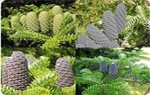 Conifer Seed - Offered varieties -