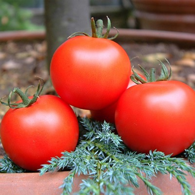 Tomato Cappricia F.1 Hybrid Seeds